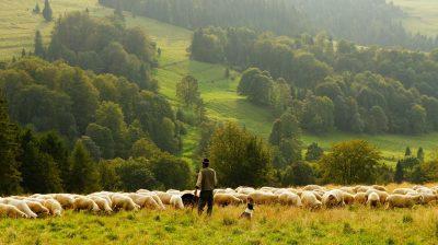 Ein Schäfer hütet die Schafe